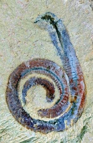 Bluish-reddish worm spiraled on sandy background.