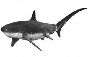 sharks attacks Jersey Shore