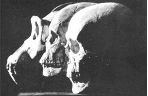 gorilla, Australian aborigine, and modern European skulls
