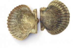 extinct scallops