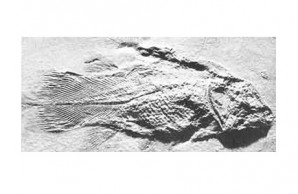ancient fossil coelacanth (Undina)