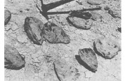 Giant fossil oysters