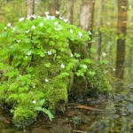 flowering wood sorrel